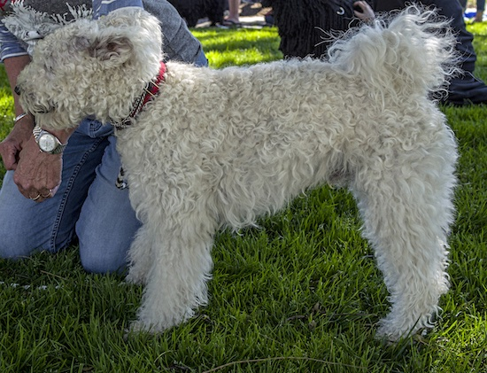 Side view of a white tight curly coated dog with lots of waves in her fur and a tail that curls up over her back standing in grass next to a person