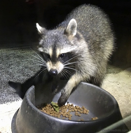 Front view of a small gray animal with a black mask, small perk ears that are rounded at the tips eating cat food out of a medal bowl with its lip curled.