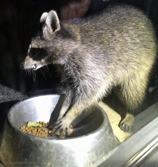 Side view of a small gray animal with a black mask, small perk ears that are rounded at the tips eating cat food out of a medal bowl with its teeth showing.