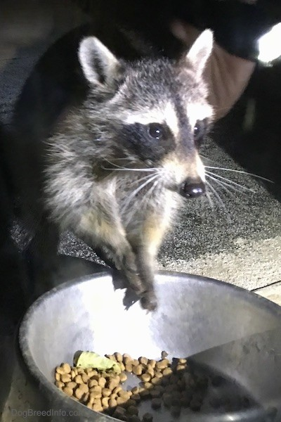 Front view of a small gray animal with a black mask, small perk ears that are rounded at the tips eating cat food out of a medal bowl with its paws up in the air.