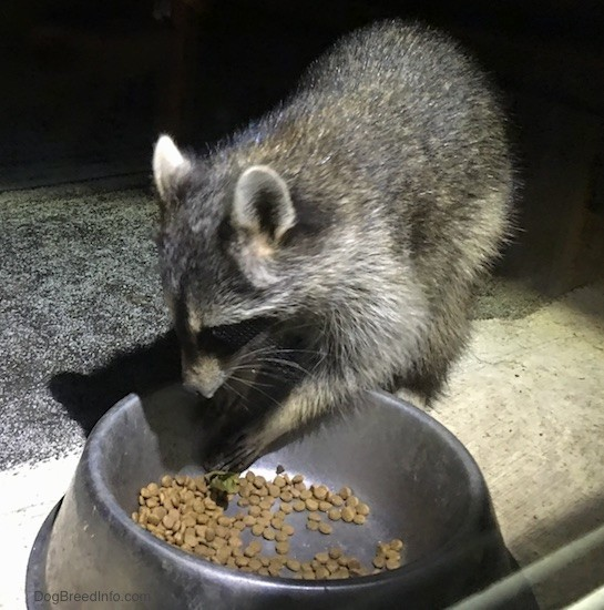 Front side view of a small gray animal with a black mask, small perk ears that are rounded at the tips eating cat food out of a medal bowl looking down at the food.