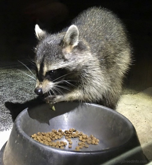 Front side view of a small gray animal with a black mask, small perk ears that are rounded at the tips eating cat food out of a medal bowl with its paws up at its mouth.