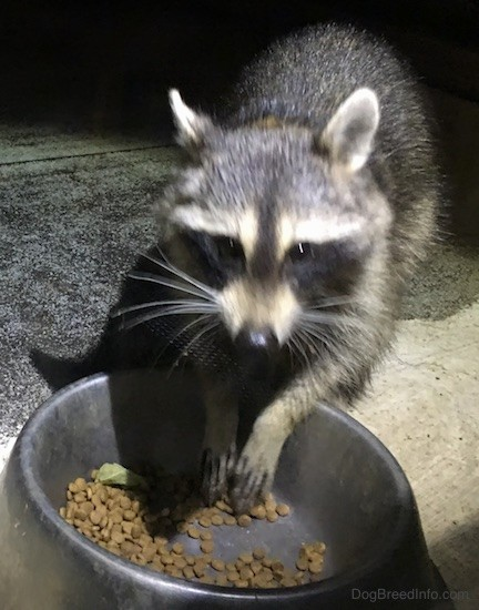 Front view of a small gray animal with a black mask, small perk ears that are rounded at the tips eating cat food out of a medal bowl with its paws hanging over the bowl.