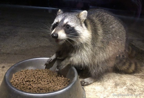 Front side view of a gray animal with white stripes on his face and a black mask with a black nose and black stripes on his tail with his front paws over top of a silver metal bowl full of cat food