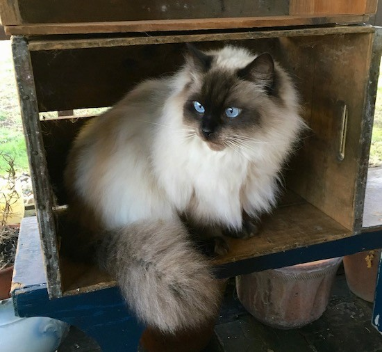 A fluffy cream and brown cat with bright blue eyes and a thick soft coat sitting inside of a wooden box looking to the left