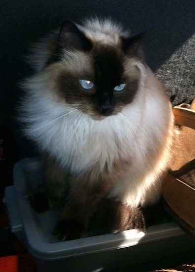 A fluffy cream and brown cat with bright blue eyes and a thick soft coat sitting on top of a plastic container looking to the right
