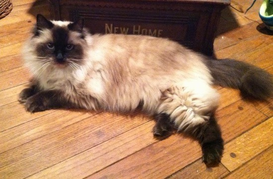 Side view - A fluffy cream and brown cat with bright blue eyes and a thick soft coat laying down on a hardwood floor in front of a wooden box that says New Home