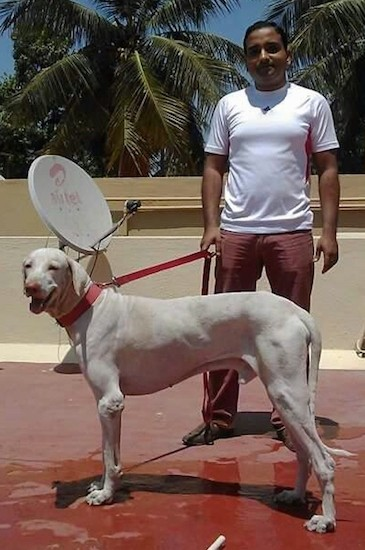 A man in a white shirt standing outside on a red patio holding a red leash that is connected to a large breed shorthaired white dog with ears that hang down to the sides, a long tail and a long body. There is a satellite dish behind them.
