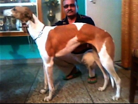 Side view - A tall, long legged, high arched reddish brown and white dog with a long muzzle, long neck and long tail standing next to a man who is squating down beside the dog. There is a trophy case behind them.