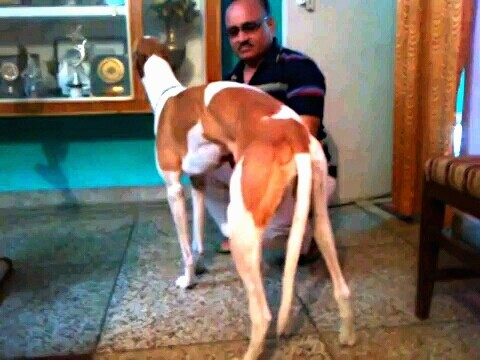 Back side view - A tall, long legged, high arched reddish brown and white dog with a long muzzle, long neck and long tail standing next to a man in dark sunglasses who is squating down beside the dog. There is a trophy case behind them.