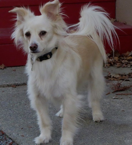 A small white dog with longer fringe hair on his tail, ears and back of his legs with dark eyes and a brown nose standing outside on a sidewalk in front of red steps.