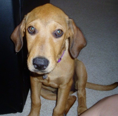 A brown hound looking puppy with ears that hang down to the sides, a black nose and brown eyes and a long tail wearing a purple collar sitting ona tan rug.