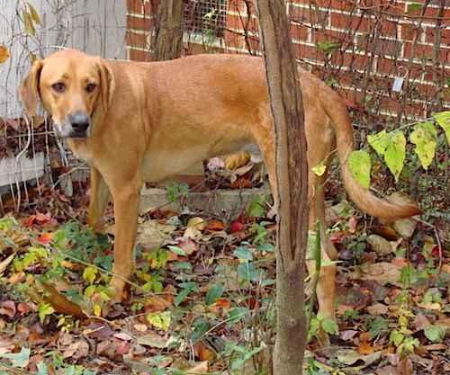 Side view of a large breed reddish-brown dog with long soft ears that hang down to the sides, a long tail and long legs standing next to a brick house in front of a small tree.