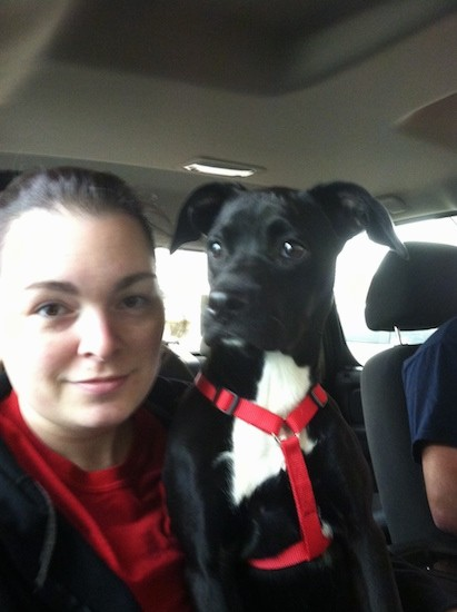A girl wearing a red and black shirt inside a car next to a black dog who is wearing a red harness. The dog has a white patch on her chest, dark wide eyes and ears that fold down and out to the sides.