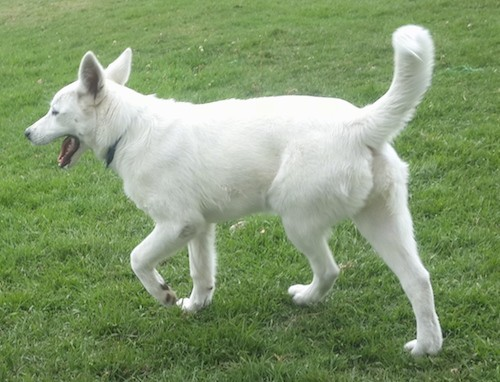 A pure white shepherd-type dog with large perk ears and a long tail walking in grass away from the camera.