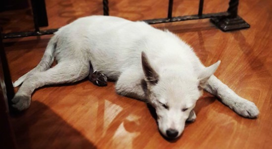 A white large breed puppy with large perk ears and a black nose laying down sleeping on a hardwood floor.