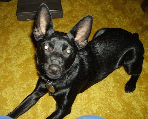 A shiny, short coated, black dog with large perk ears, wide round eyes, a black nose and a short nub for a tail laying down on a bright yellow carpet.