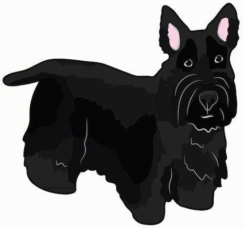 Front side view drawing of a black dog with a thick black coat, perk ears, wide round black eyes, a short straight tail and short legs with a body that is low to the ground standing.