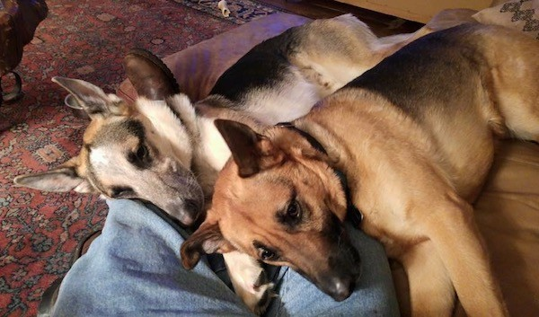 Two shepherd dogs, one tricolor and one black and tan laying down on a couch on the legs of a person wearing blue jeans. The dogs have large perk ears and long snouts