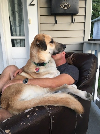 A tan dog with a black muzzle and black ears laying down on the lap of a man who is sitting on a black leather arm chair outside on the porch of a tan house.