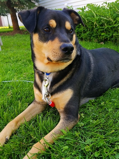 A large black and tan dog with tan circles above each dark eye a black nose and a tan muzzle with a little bit of white on his chest laying down in grass.
