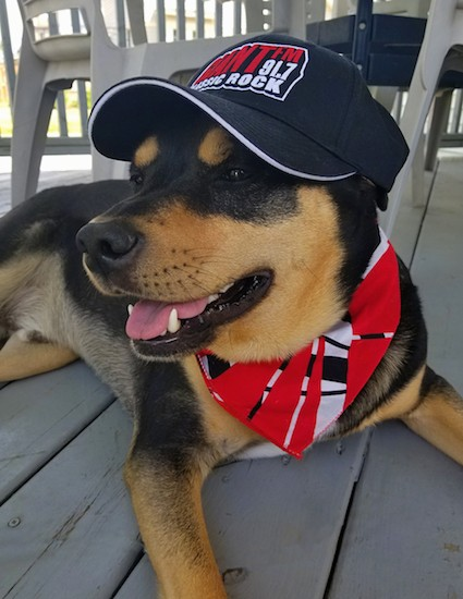 A big black and tan dog laying down outside in the shade on a tan deck wearing a black, white and red  radio station hat and a black, white and red bandanna.
