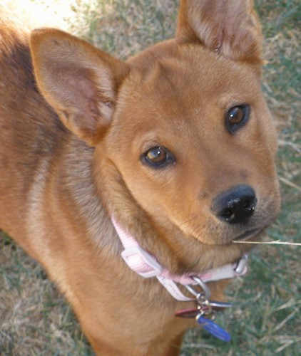 An orange short but thick-coated dog with perk ears that come to a point at the tips, brown almond shaped eyes and a black nose standing outside in grass.