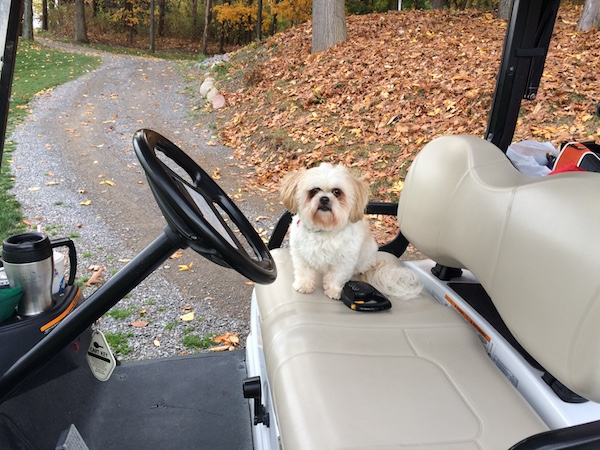 A small sized white with with tan non-shedding dog with long furry ears that hang down to the sides a pushed back face, black nose and black eyes sitting on a golf cart with a retractable leash sitting on the seat next to her.