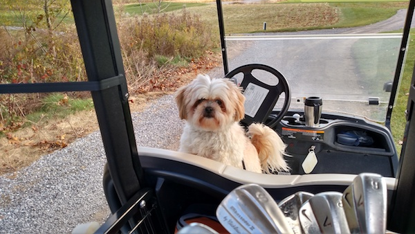 A white with tan toy sized non-shedding dog with a lot of fur on its face, ears that hang down to the sides, a tail that is curled up over its back with long fringe hair on it, a black nose and dark eyes with rust stains on its face sitting on the seat of a golf car looking back. There are golf clubs in the cart.