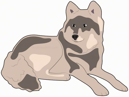 A drawing of a tricolor brown and tan, thick coated artic looking dog with perk ears and a very thick long tail with a black nose laying down.