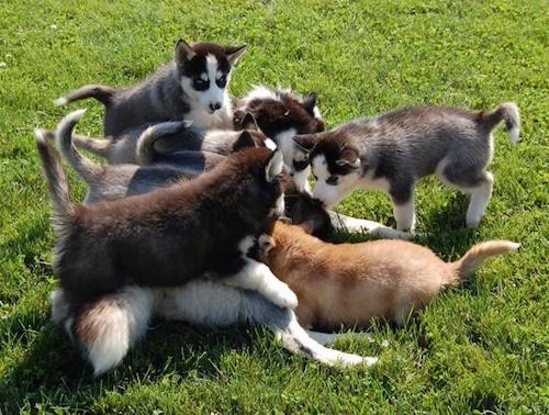 A litter of 9 artic dog puppies outside playing in grass piled on top of one another. Eight of the pups are black, gray and white and one is orange and white.