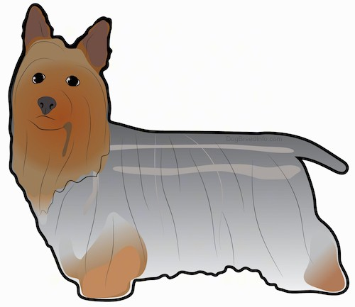 A drawing of a toy sized dog with large perk ears, a very long gray and brown coat, a short tail that is being held down low, dark eyes and a black nose standing sideways.