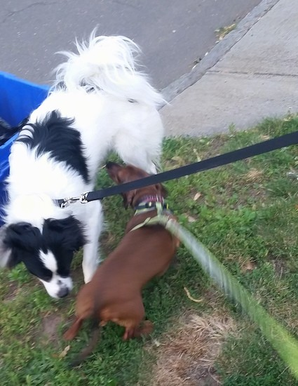 A longhaired black and white dog with a fringe tail that curls up over the dog's back standing in grass smelling a small long bodied, low to the ground brown Dachshund dog that is sniffing back. The dogs are on leashes standing in a small patch of grass.
