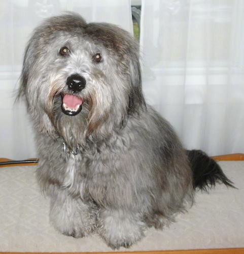 A small very thick coated long-haired gray dog with a black nose, brown eyes, ears that hang down to the sides with thick fur on them and a thick black long tail sitting down with his pink tongue showing looking happy.