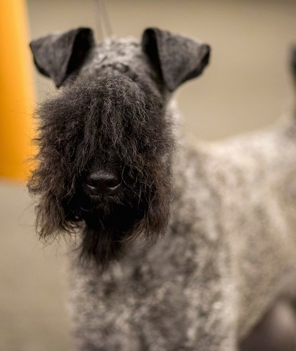 Front view of a wavy-coated tan dog with a black face with longer hairs covering up the dogs eyes, a black nose and small v-shaped ears that fold forward at the tips.