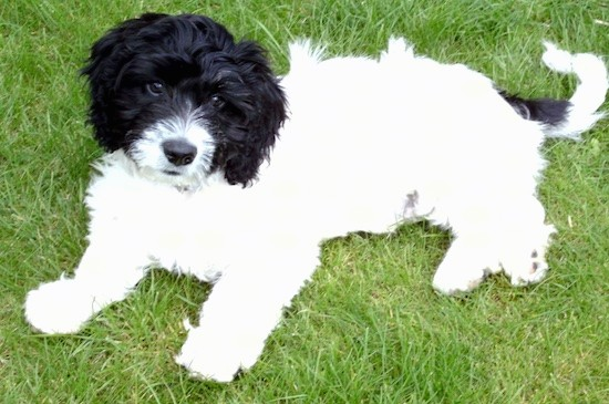 A small white fluffy puppy with a black head and black on his tail laying down in green grass. The pup has a black nose and dark eyes.