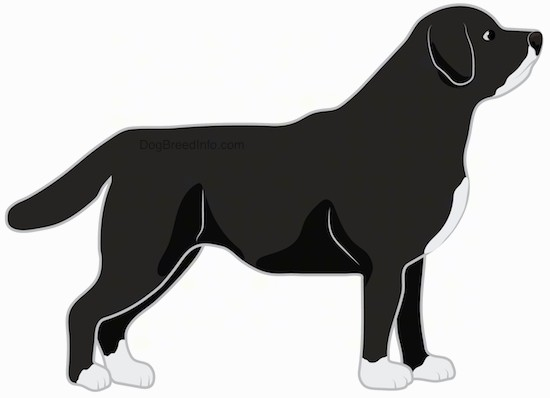 Side view drawing of a large breed black with white thick bodied, thick coated dog with white on its chin, chest and feet and a black body standing