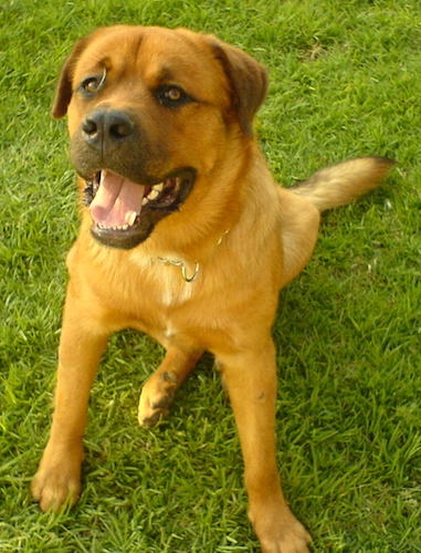 An orange colored large breed dog with black on his muzzle, a large black nose, a little white on his chest and small ears that hang down to the sides sitting down in grass looking up. The dog has a large head, a thick coat, large paws, black lips and brown eyes.