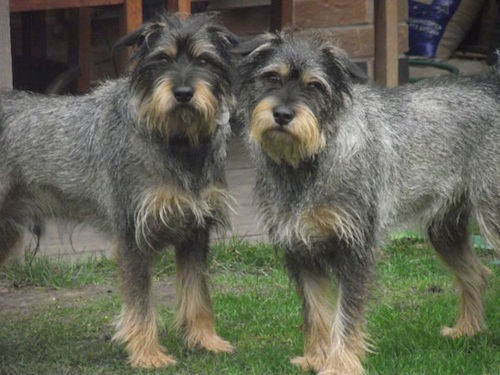 Two wiry looking gray dogs with tan on their snouts, above their eyes, on their chest and paws standing outside in grass in front of a brick building. The dogs look the same, with black noses and dark eyes and small ears that fold down to the sides.