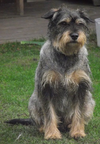 Front view of a wiry looking gray and tan dog with a black nose, dark lips, dark eyes with longer fringe hair on the eyebrows, chest and paws sitting outside in grass. The dog has a beard and longer hair on the snout.