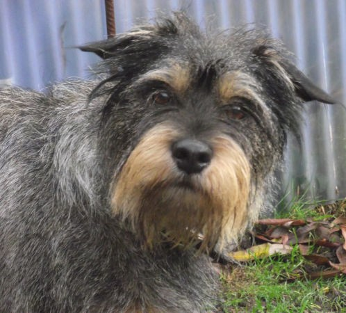 Head and upper body shot of a wiry gray dog with a tan muzzle with longer hair that looks like a beard and tan eyebrows with ears that stick out to the sides and a black nose standing outside in grass in front of a medal fence wall.