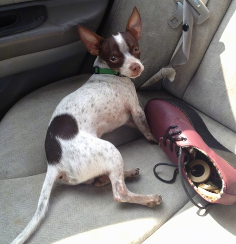 A small white and brown dog with pointy perk ears, a long tail, a white body with brown ticking and brown patches of fur, a brown nose, wide brown eyes wearing a green collar laying in the back seat of a car next to a red shoe.
