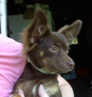 Side view head shot of a lady in a pink shirt holding a little brown dog with perk ears, tan eyes, a brown nose, a little bit of white on her chest and a few tan spots.