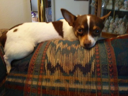 A small tricolor white, brown and tan dog with a brown nose and large perk ears with dark almond shaped eyes laying on the back of a couch inside of a house.