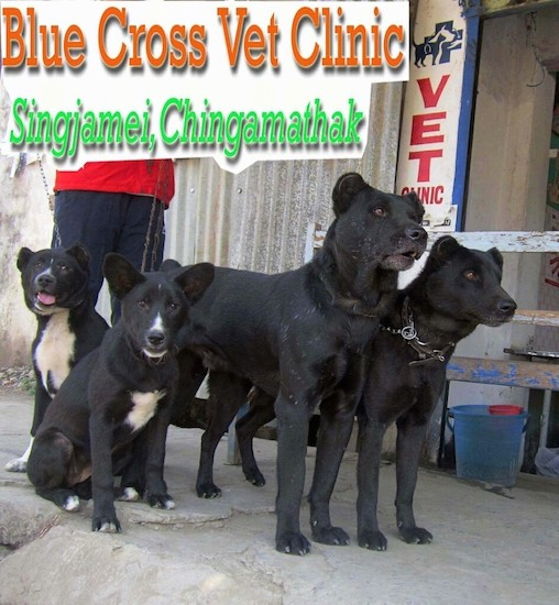 A man in a red shirt holding the leashes of four black dogs outside of a vets office. Two of the dogs are sitting down and have white on their chests and muzzle and two are standing up and are solid black with cropped ears. The dogs have brown eyes. The words Blue Cross Vet Clinic Singjamei, Chingamathak are overlayed.