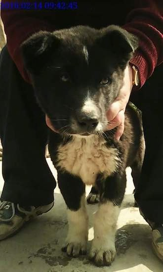 A small thick coated black and white puppy with small v-shaped ears that fold down and over to the front with a patch of white on his otherwise black head, white on his chest and legs and a black nose. There are human hands around the dogs neck.