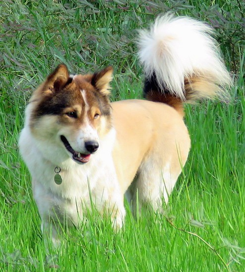 Front side view of a thick coated, soft looking tan with white, black and brown dog with small perk ears, a black nose, brown almond shaped eyes and a tail that curls up over his back with longer thick hair on it standing outside in tall grass looking relaxed and happy.