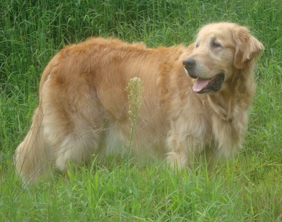 Side view of a large orange colored tan dog with a big head a large muzzle, almond shaped eyes and ears that hang down to the sides with a long tail that reaches the ground and a thick coat covering its whole body standing outside in grass.
