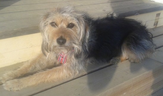 A shaggy but soft looking black and tan dog with a black body, a tan head and legs with long ears that hang down to the sides, brown eyes and a black nose laying down on a wooden deck with her head in the sun and back in the shade.