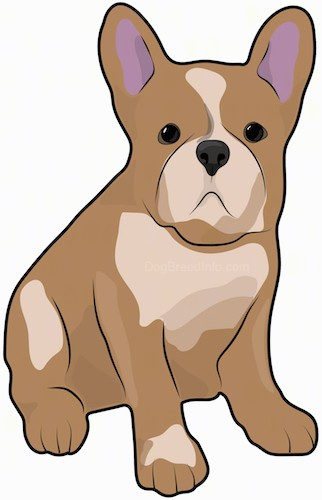 Front side view drawing of a brown and tan small dog with a stocky large body and big bat perk ears, a pushed back face, large round dark eyes and a big black nose sitting down.